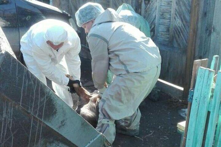 ВИркутской области из-за вспышки африканской чумы унаселения изъяли 1053 свиньи