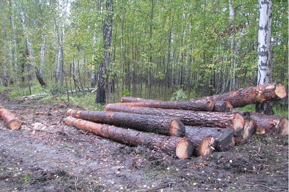 ВТюменской области нелегально вырубили неменее 200 сосен