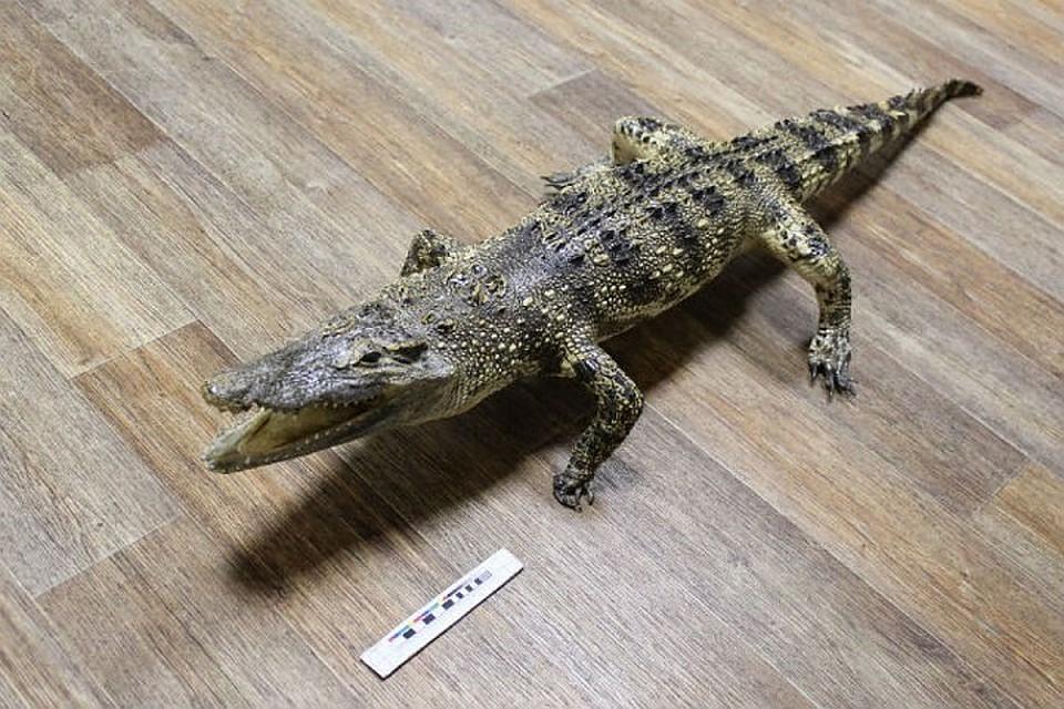 Вказанском аэропорту упассажира изВьетнама отыскали 5 чучел крокодилов