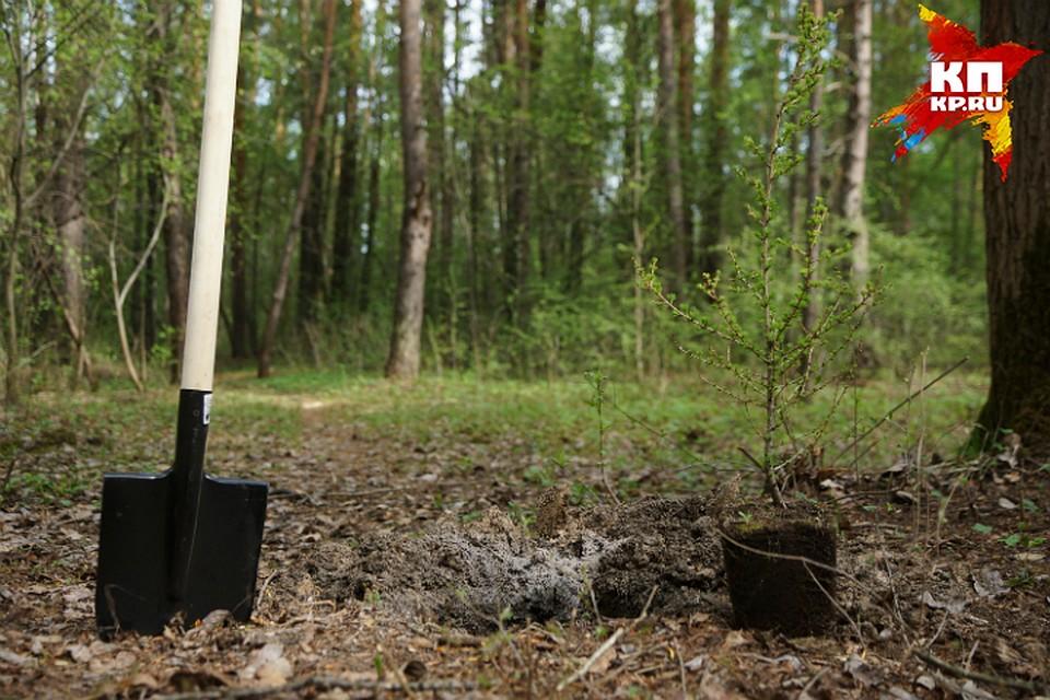 Навырубленной лиственной аллее поулице Богдана Хмельницкого высадили сосны