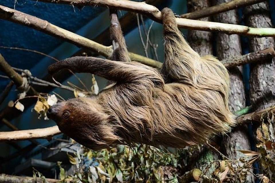ВНовосибирский зоопарк изЕкатеринбурга прибыла самка ленивца