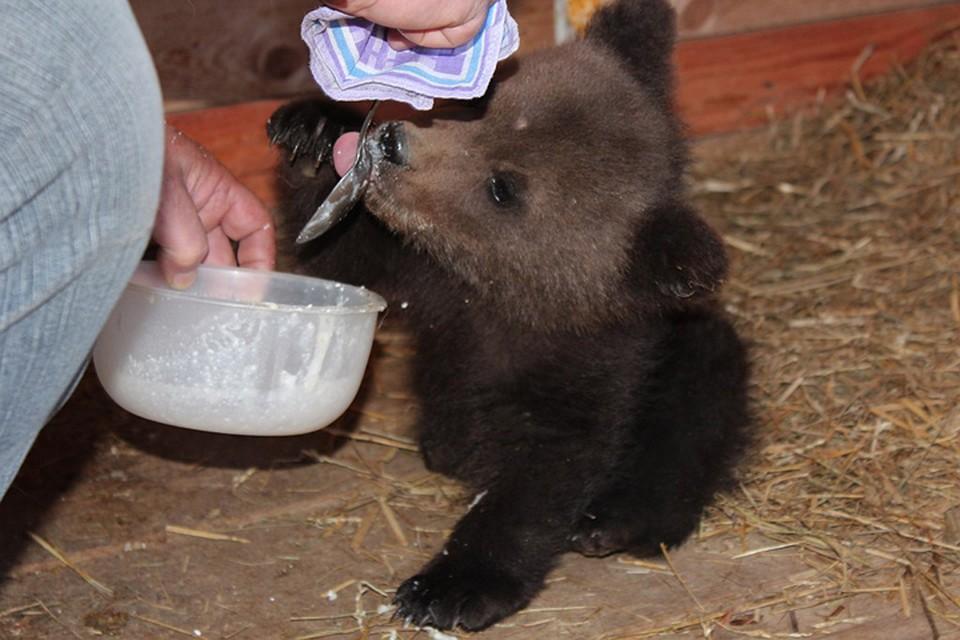 «Ему влес нельзя». Трехмесячного медвежонка спас гражданин Бора