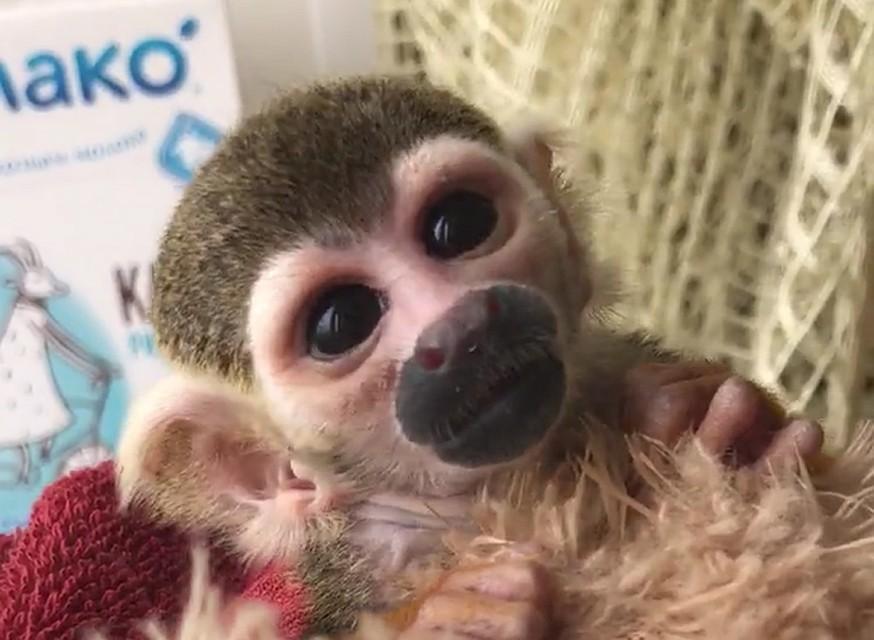 Зоологи выходили ребенка  саймири
