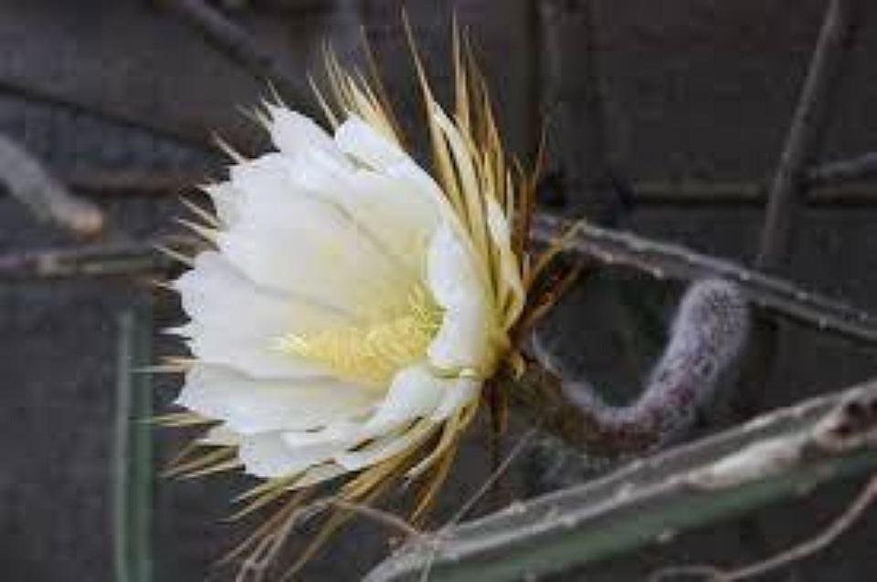 ВБотаническом саду Петербурга открывает первые цветки «Царица ночи»