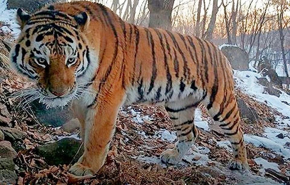 ВПриморье браконьер завыстрел втигра заплатит 1,7 млн руб.