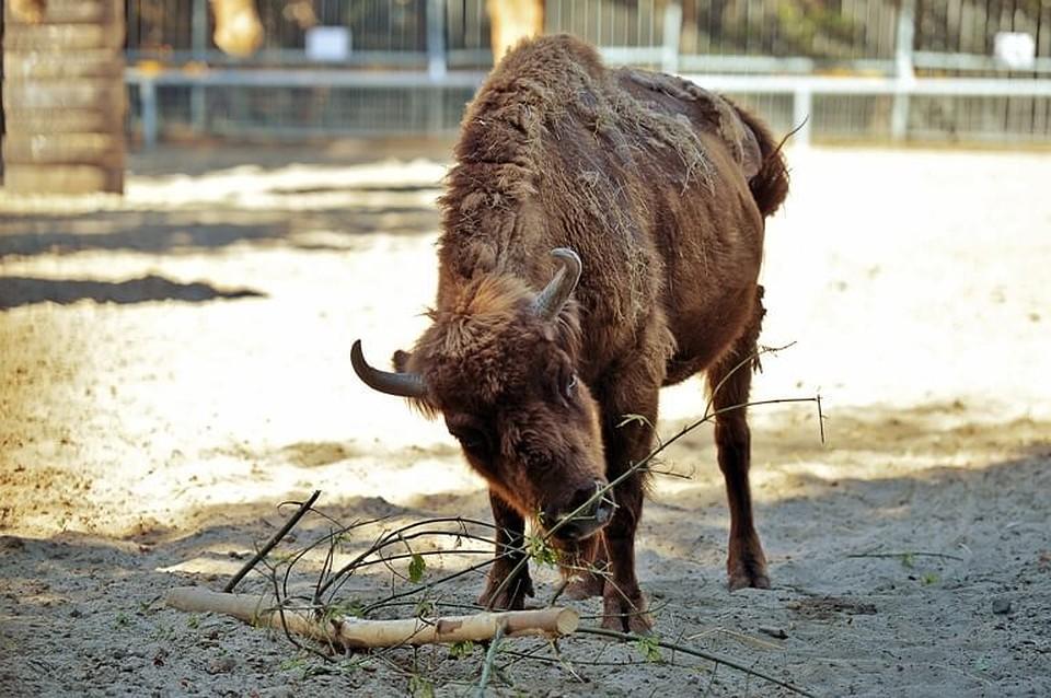 Вростовском зоопарке скончался зубренок Муха