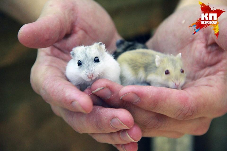 Выведение генетической линии крыс с каталепсией заняло более сорока лет