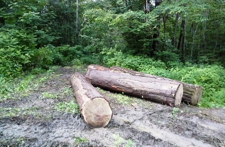 ВОмской области массово садят втюрьму «черных» лесорубов
