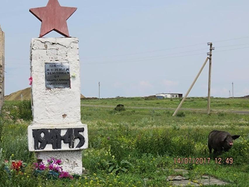 ВЧелябинской области мемориал участникам ВОВ стал пастбищем для свиней