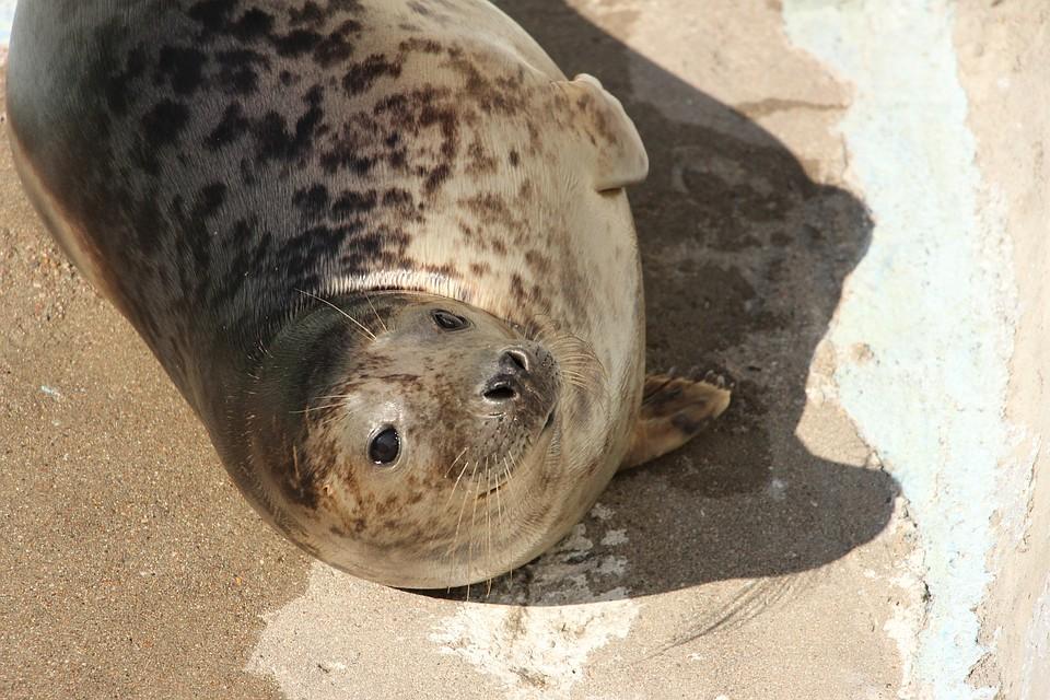 Зоопарк вКалининграде выпустит вморе 2-х родившихся вневоле тюленей