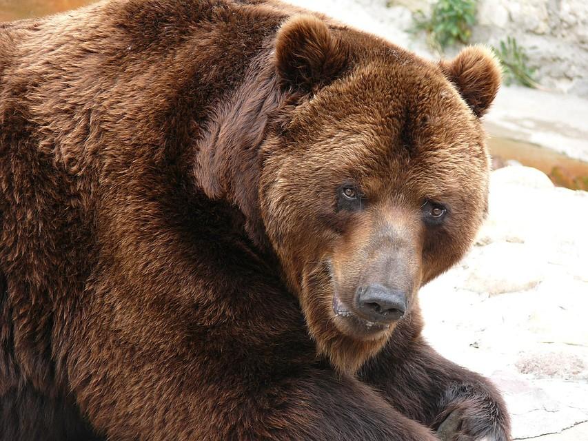 НаЯмале медведь-людоед вступил всхватку сполицией ибыл убит