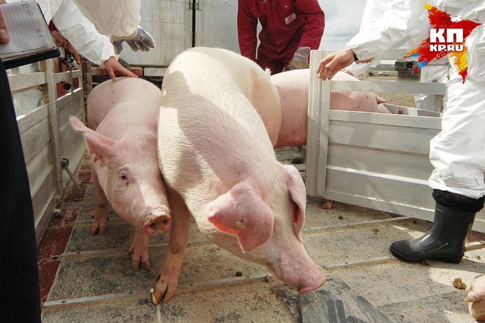 Натерритории у«Руском-Агро», «Омского бекона» и остальных учреждений уничтожили свиней