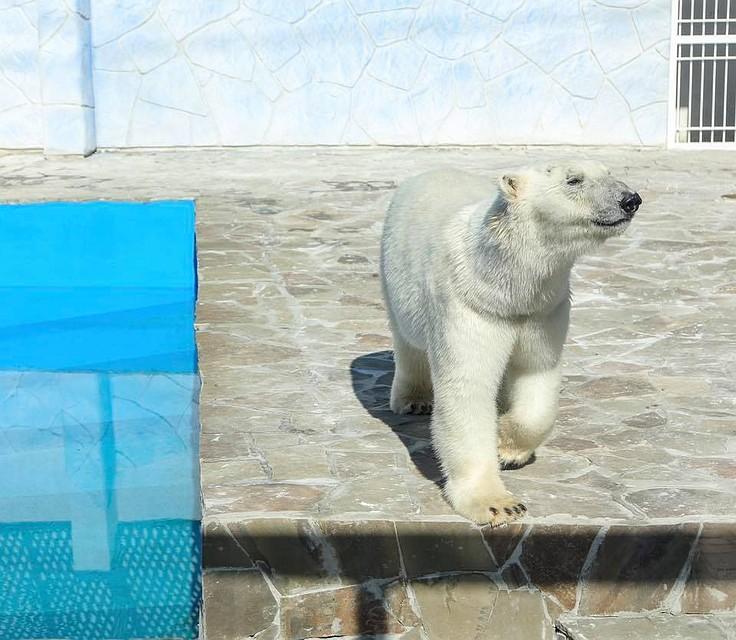 Ростовчан приглашают на5-летие белой медведицы Кометы