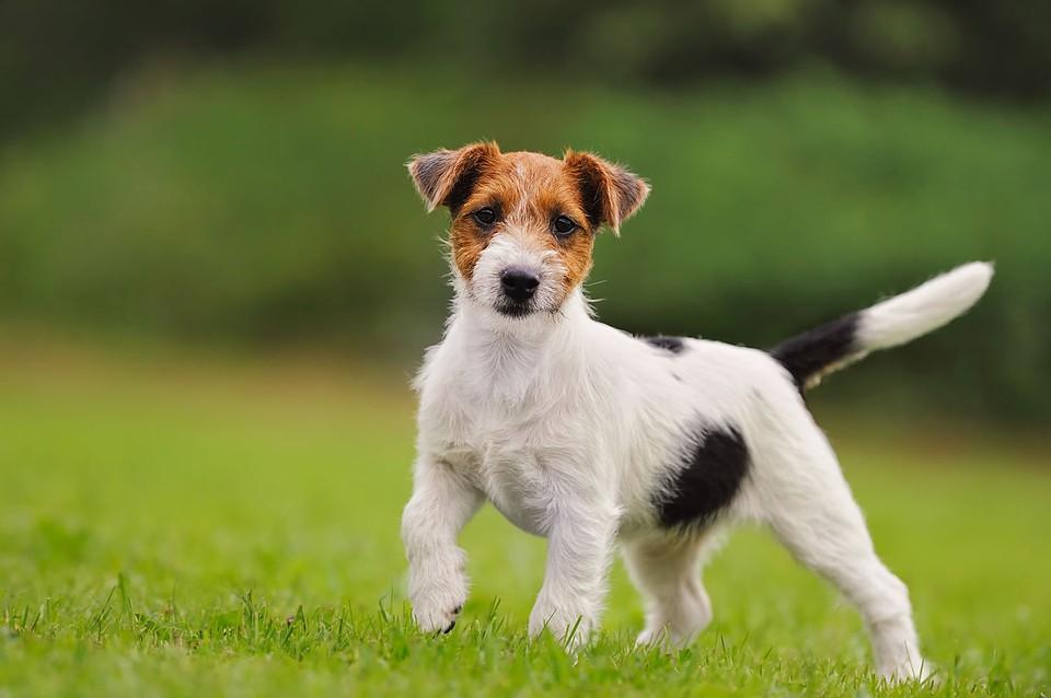 Самыми известными ужителей российской федерации собаками оказались йорки