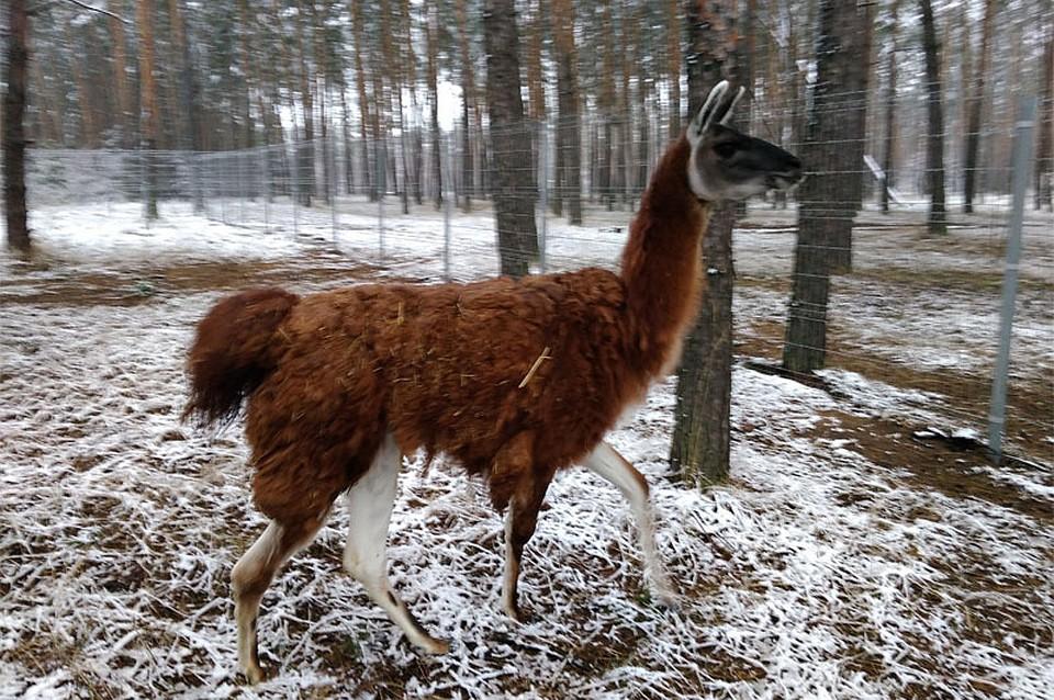 Зоопарку Воронежа подарили самца гуонако покличке Фима