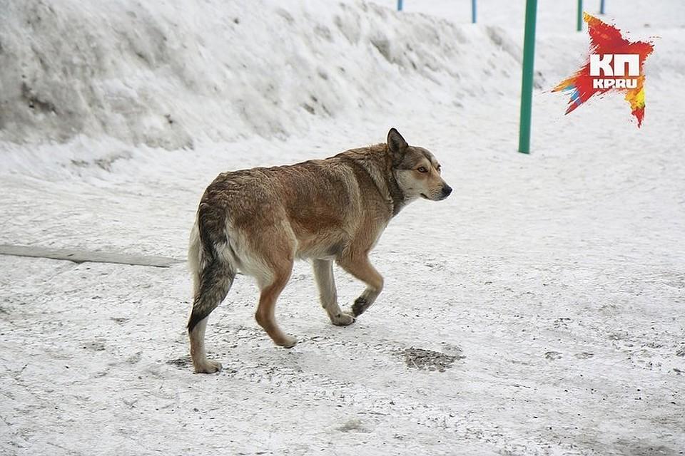 Отловом бродячих собак вКрасноярске будет заниматься сын прошлого подрядчика