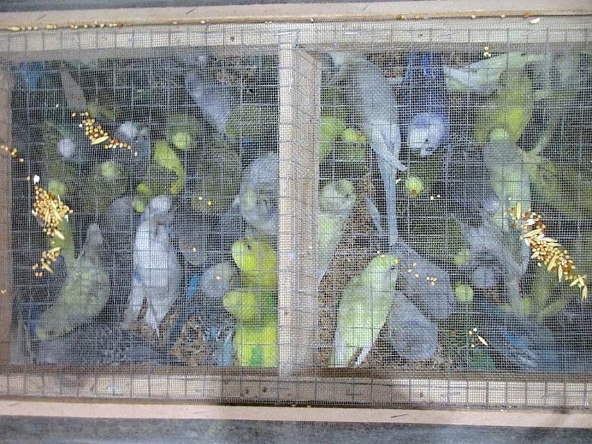 ВПулково ветеринарный контроль прошли 335 попугаев