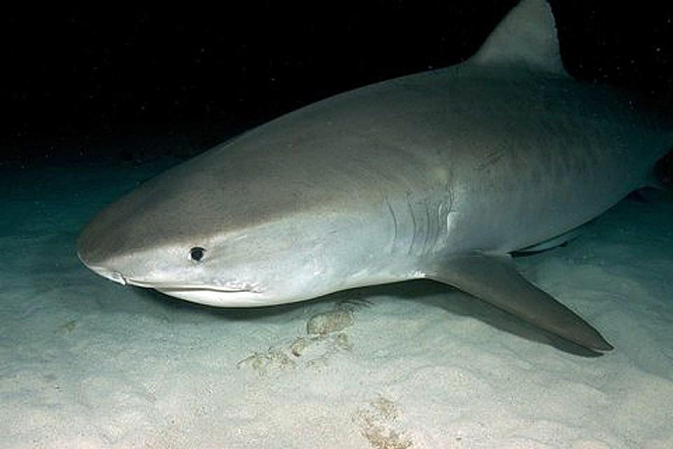 Рыбак вырезал изакульей тушки 98 живых акулят