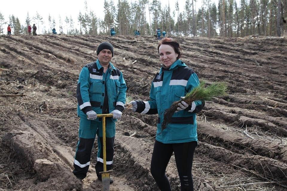 ВТольятти высадили 10 тыс. молодых сосенок на2 гектарах