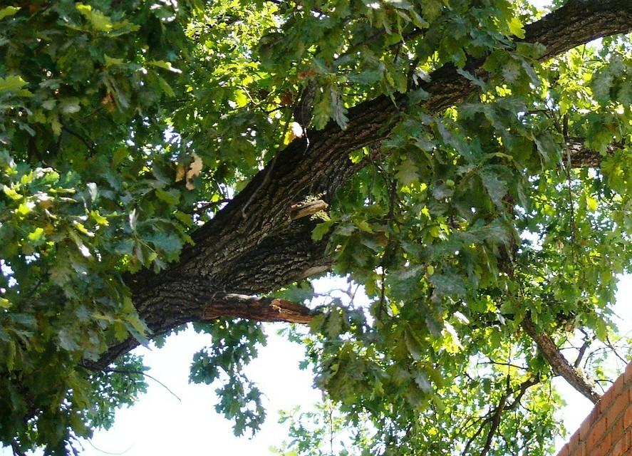 ВКурганинском районе мужчина срубил 300-летний дуб