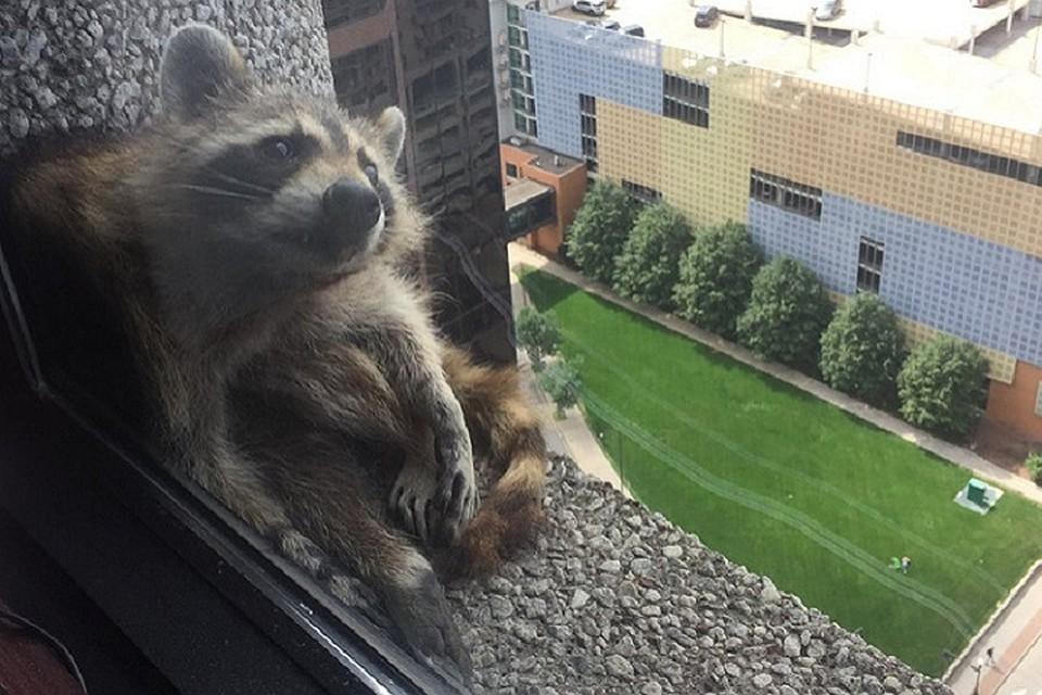 ВСША енот забрался на23 этаж небоскреба