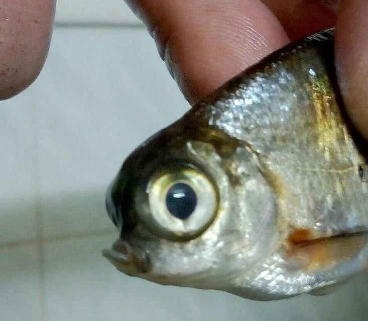 ВСызрани рыбак поймал рыбу-мутанта