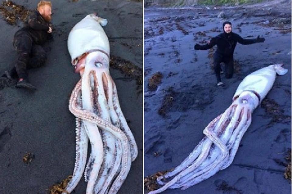 В новейшей Зеландии отыскали гигантского кальмара