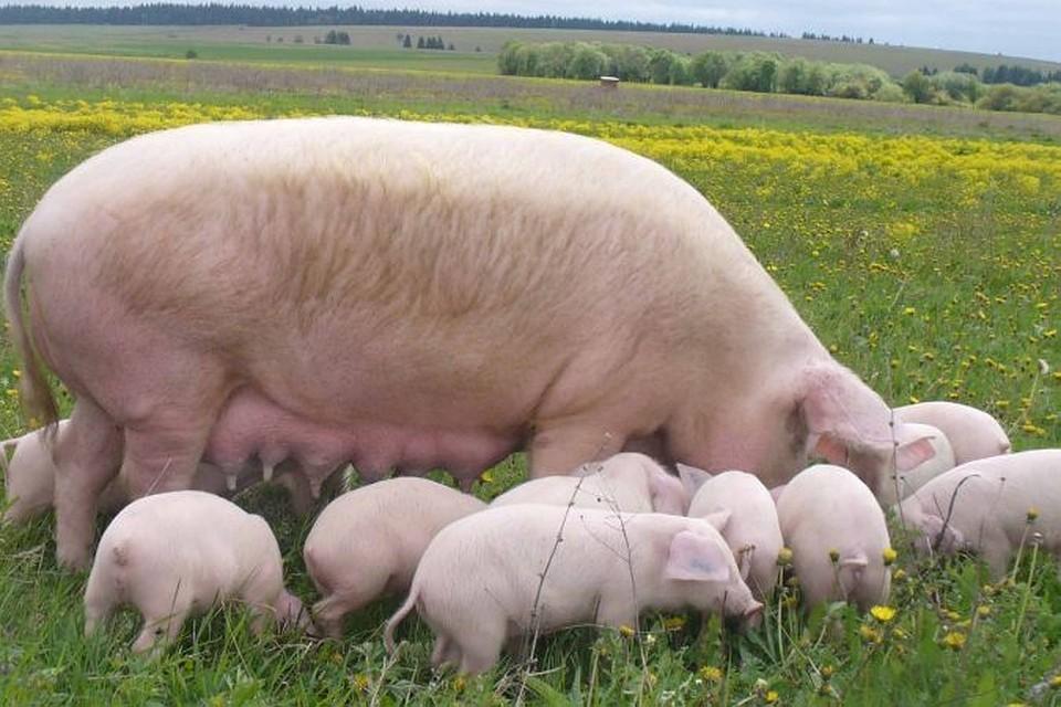 По закону власти имеют право изымать не только свиней, но и продукты из свинины: фарш, колбасу и т.д.