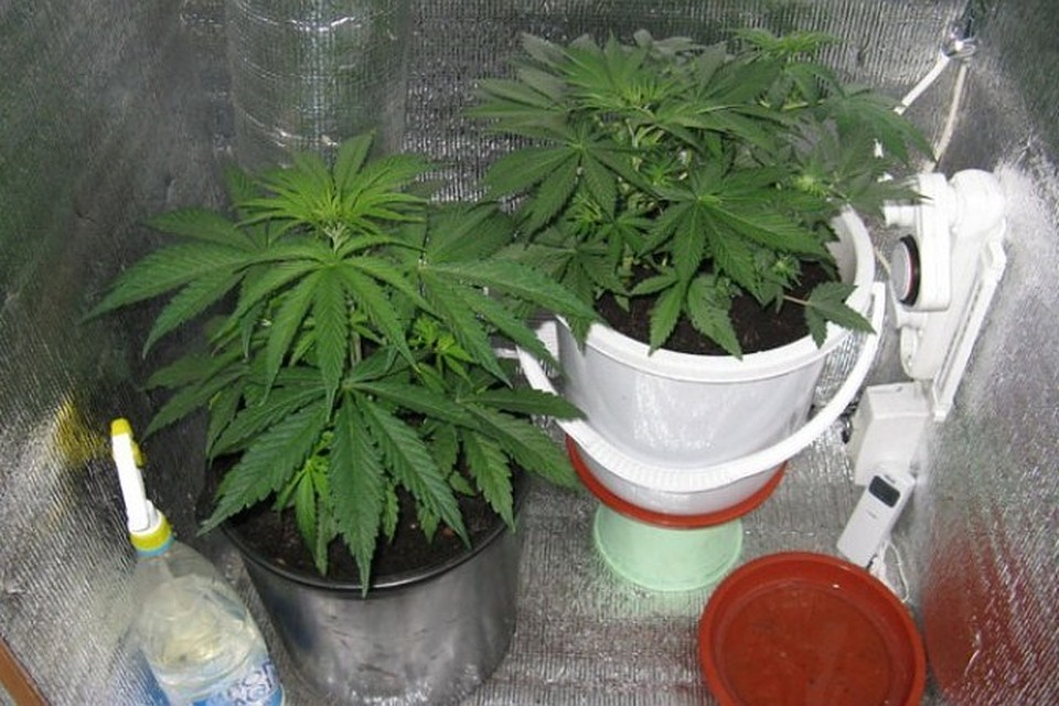 Выращивание канопля дома 21