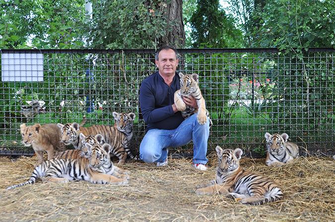 Картина по номерам Тигрица с тигрятами на прогулке