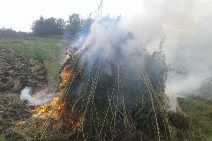 ВВоронежской области сожгли 750 килограммов конопли