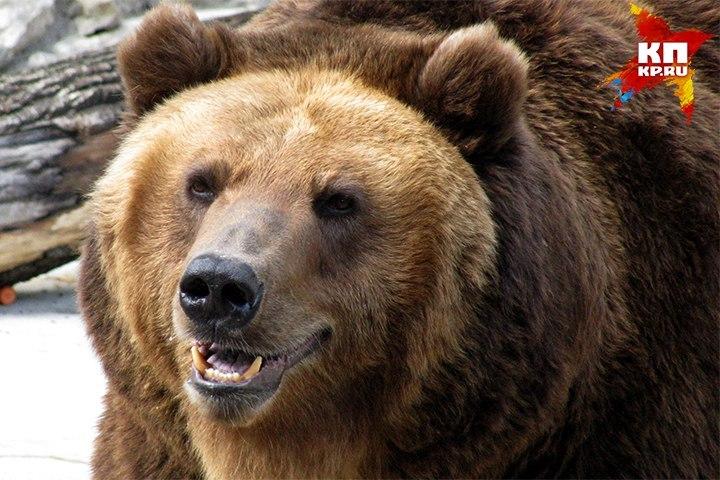 Медведь тяжело ранил 2-х рабочих вКрасноярском крае
