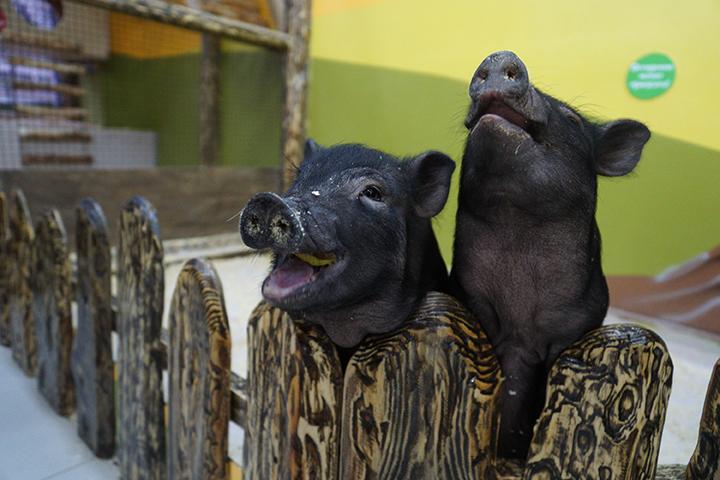 ВБалашовском районе завершены мероприятия поликвидации очагов африканской чумы свиней