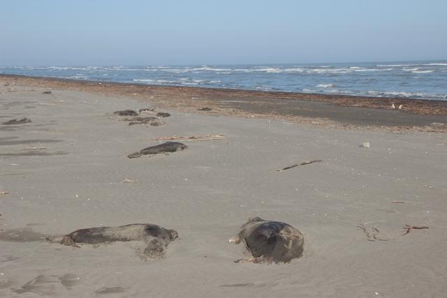 Тюлени вКаспийском море погибли из-за долгих штормов