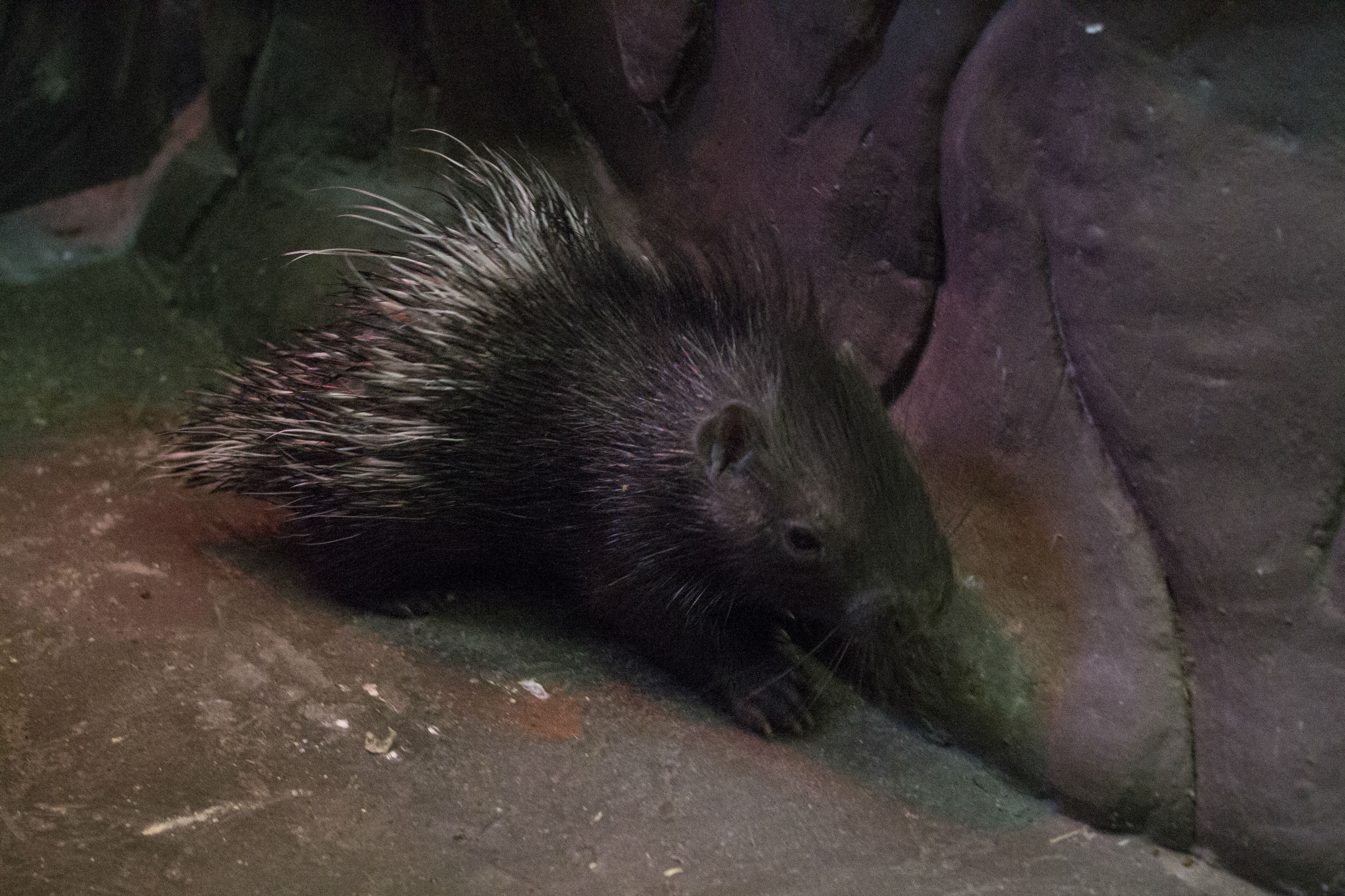 Вярославском зоопарке родился небольшой дикобразик