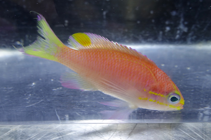 Tosanoides obama это маленькая рыбка длиной всего 6 сантиметров, родным домом для нее являются коралловые рифы. Фото: Bishop Museum