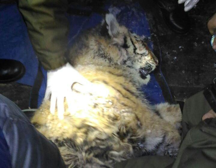 ВАлексеевке пробуют спасти жизнь раненому тигрёнку