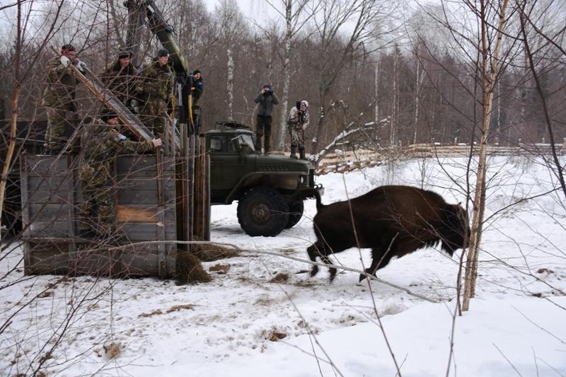 Три новых самки зубра осваиваются вСмоленском Поозерье