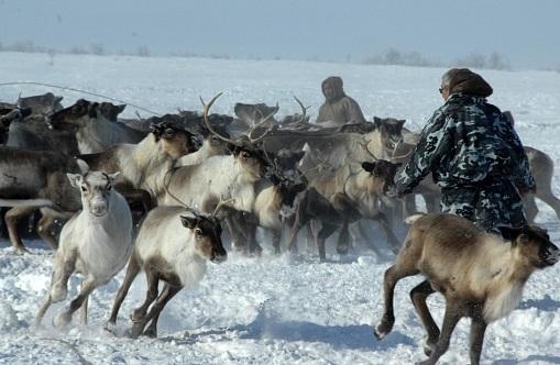 Всем ямальским оленям поставят прививки отсибирской язвы