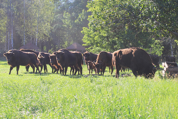 Взаповеднике «Брянский лес» этим летом родились 4 зубренка