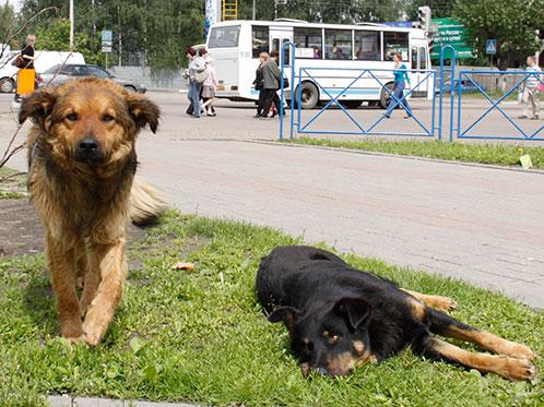 Бездомных собак из Москвы снова собираются депортировать под Ярославль. Фото: Елена ВАХРУШЕВА