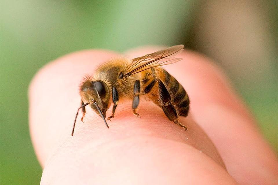 Апитерапия: лечение укусами пчел