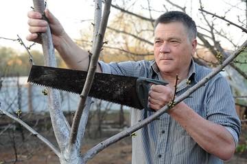Можно ли спасти плодовые деревья, сломавшиеся после урагана