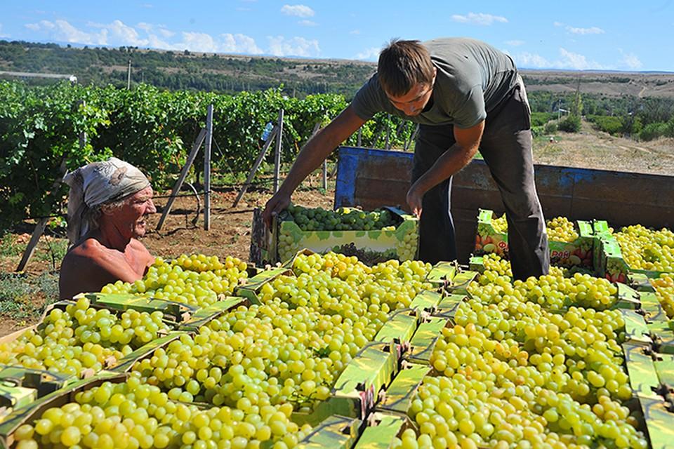 Оптимальный цикл развития виноградника составляет не менее 7 лет. Но в России, оказывается, есть способ вырастить плодоносящую лозу гораздо быстрее
