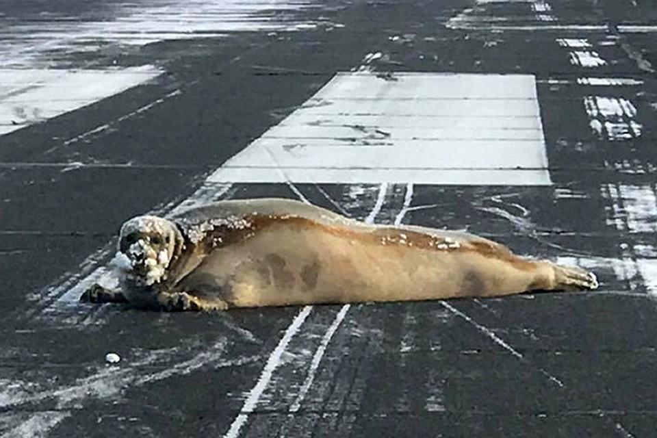 Животное весом почти 200 килограммов нашли на ВПП, когда работники аэропорта занимались очисткой территории от снега после обильного снегопада