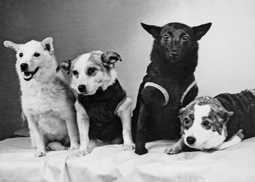 Собаки - космонавты. Слева направо: Белка, Звездочка, Чернушка и Стрелка. Фото Веры Жихаренко, 1961 год (Фотохроника ТАСС)