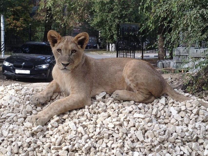 Покусанный львицей Майей подросток получит 65 тысяч за моральный ущерб