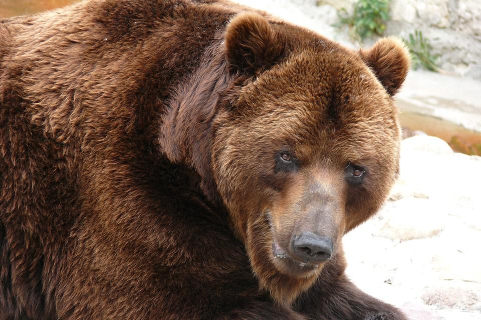 В момент инцидента медведь должен был все еще находиться в спячке