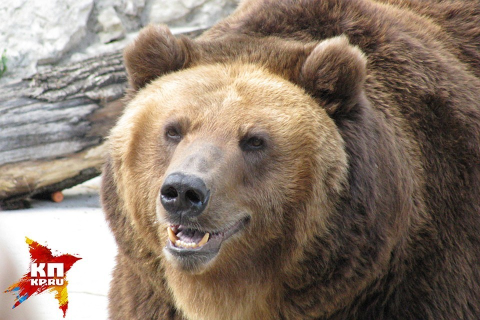 Медведь словам забор, пытаясь попасть из Латвии в Россию