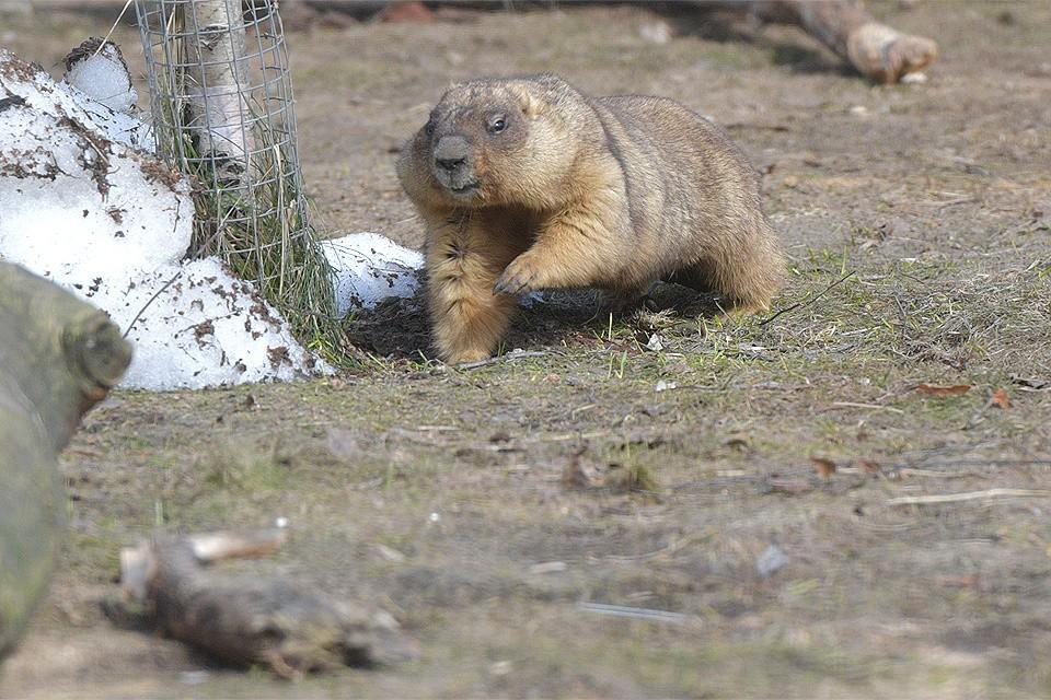 В Московском зоопарке после зимней спячки проснулись степные сурки.